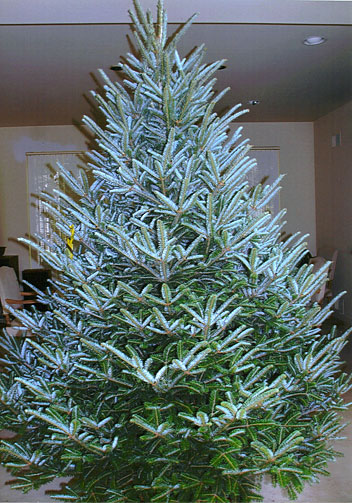 2009 Grand Champion Christmas Tree, grown by Dan and Bryan's Christmas Trees (formerly Sundbacks) in Washington D.C., Maryland and West Virginia