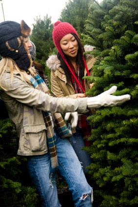 You choose from hundreds of fresh fraser fir and douglas fir at Dan and Bryan's Christmas Tree lots in Washington D.C. and Chevy Chase, Maryland.  Also available fresh cut on the farm in Shepherdstown, WV
